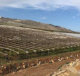 مشروع زراعة كروم العنب